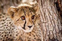 Cheetah cub in a tree in Namibia