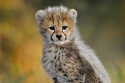Cheetah cub looking at the camera