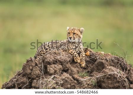 Cheetah cub lying on a hill #548682466