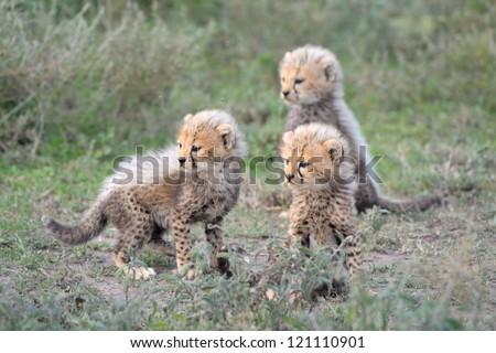 Cheetah cubs at Serengeti National Park in Tanzania