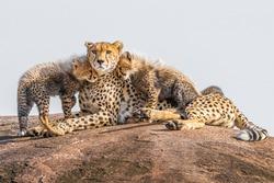 Cheetah cubs cuddling their mother. A perfect image for love and compassion. Shot in Maasai Mara, Kenya.