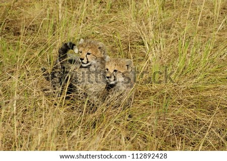 Cheetah Cubs on the Lookout for the Mother