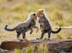 Cheetah cubs play with each other in the savannah. Kenya. Tanzania. Africa. National Park. Serengeti. Maasai Mara. An excellent illustration.