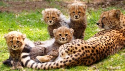 Cheetah cubs with mother