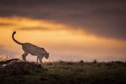 Cheetah descending a rock with sunset background