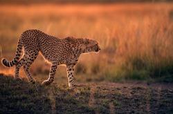 Cheetah during dusk in Savannah grassland, Masai Mara