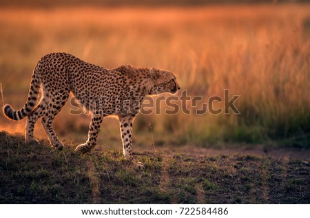 Cheetah during dusk in Savannah grassland, Masai Mara