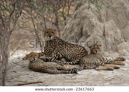 Cheetah family rests in the shadow of a termite mound in the Okavango Delta, Botswana.