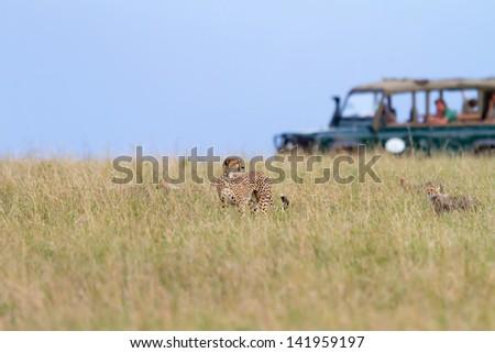 Cheetah Family With Safari Car In The Background, Masai Mara