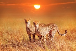 Cheetah group in the Serengeti National Park. Sunset background. Africa. Tanzania.