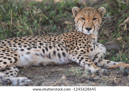 cheetah having rest #1245628645