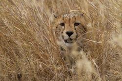 Cheetah hiding in grass, Serengeti National Park, Tanzania, East Africa