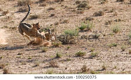 cheetah hunt 1