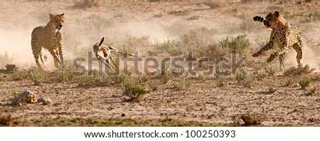 cheetah Hunt 3