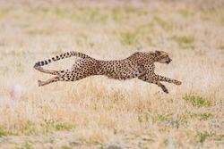 Cheetah hunting in the dry riverbeds of the Kalahari