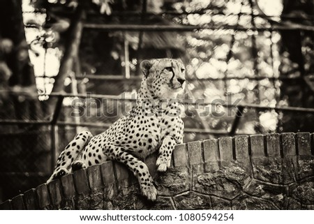 cheetah in captivity with black and white photo