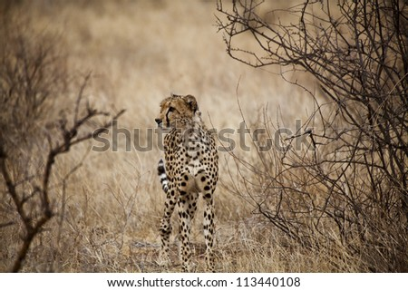 Cheetah in Kenya (Acinonyx Jubatus)