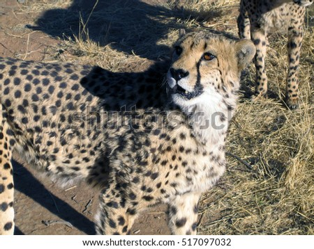 Cheetah in Namibia #517097032