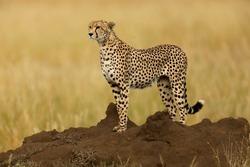 Cheetah in Serengeti National Park, Tanzania.