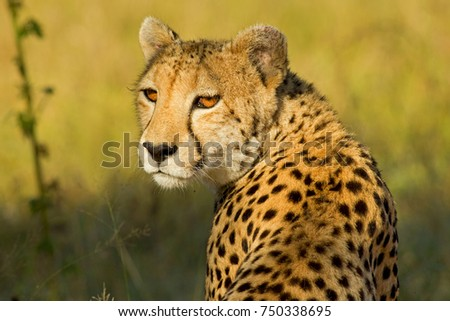 Cheetah in the African Bush and Game Reserves