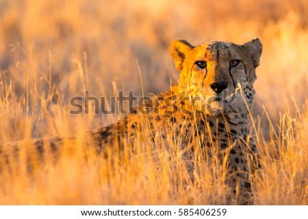 Cheetah in the Etosha National Park, the greatest wildlife reserve in Namibia