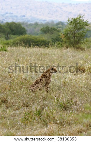 Cheetah in the long grass in South Africa, Hluhluwe National Park, South Africa.