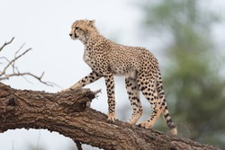Cheetah in the wilderness, cheetah cub, cheetah mom