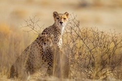 Cheetah, in the wilderness of Africa