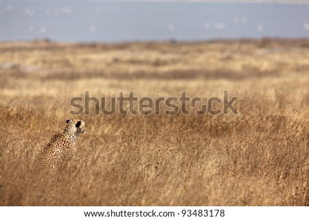 Cheetah into the wild steppe.  Tanzania, Africa.