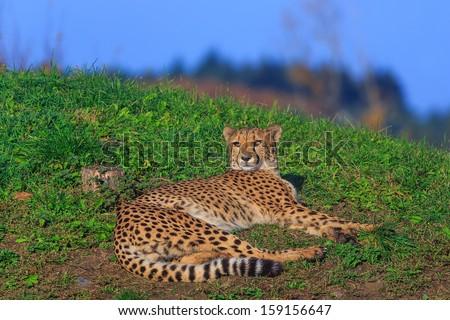 cheetah is resting