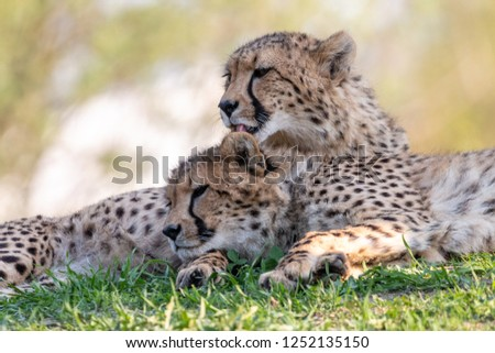 Cheetah licks a cub lying on green grass. Two cheetahs (Acinonyx jubatus) on blurred background. Cute family scene of beautiful spotted cats. #1252135150