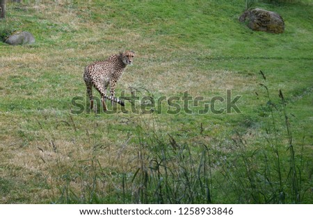 Cheetah looking back #1258933846