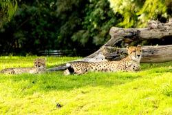 Cheetah lounging on grass next to log