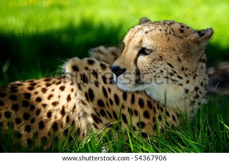 Cheetah lying in shaded grass