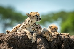 Cheetah lying on termite mound with cubs