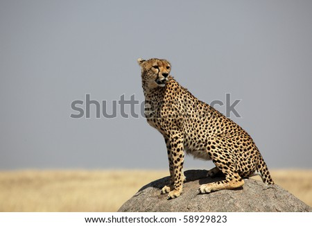 Cheetah male on the look out, Serengeti NP, Tanzania, East Africa