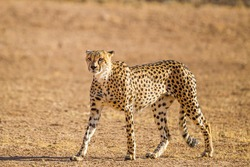 Cheetah Male walking along the riverbed in the Kgalagadi Transfrontier Park