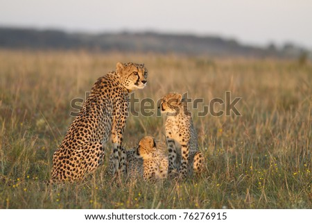 Cheetah mother and cubs on grassland plain