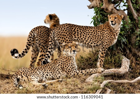 Cheetah mother and two older cubs, Masai Mara, Kenya