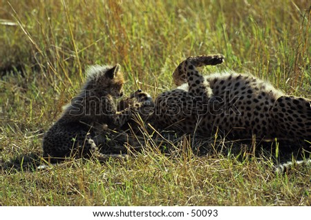 cheetah mother playing with cub