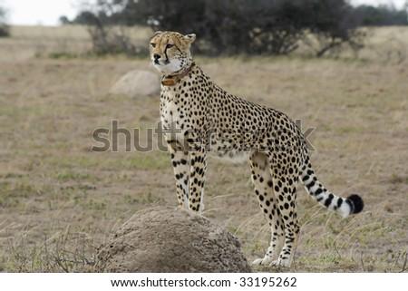 Cheetah mother surveys from termite mound over grassland plains.
