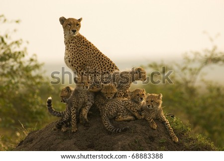 Cheetah Mother with six cubs