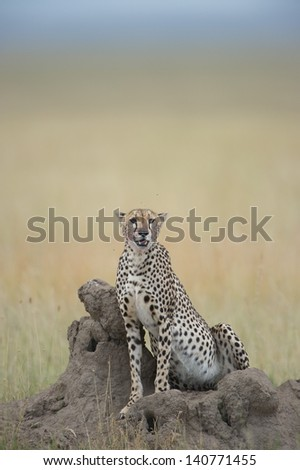 Cheetah on mount