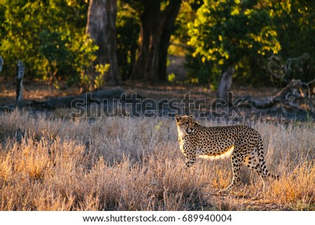 Cheetah on the move #689940004