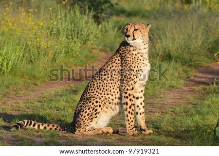 cheetah on the road,Namibia