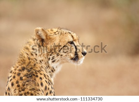 Cheetah patiently watching to his right