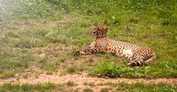 Cheetah photography. Acinonyx jubatus in Cabarceno natural park in Cantabria