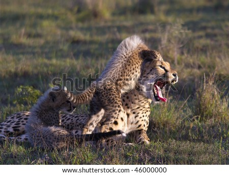 Cheetah playing with mom