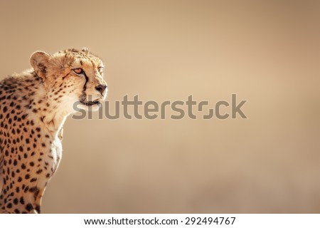 stock photo cheetah portrait kalahari desert south africa 292494767 - Каталог — Фотообои «Животные»
