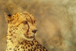 Cheetah portrait  multiple images with oil painting background ; Specie Acinonyx jubatus family of Felidae
